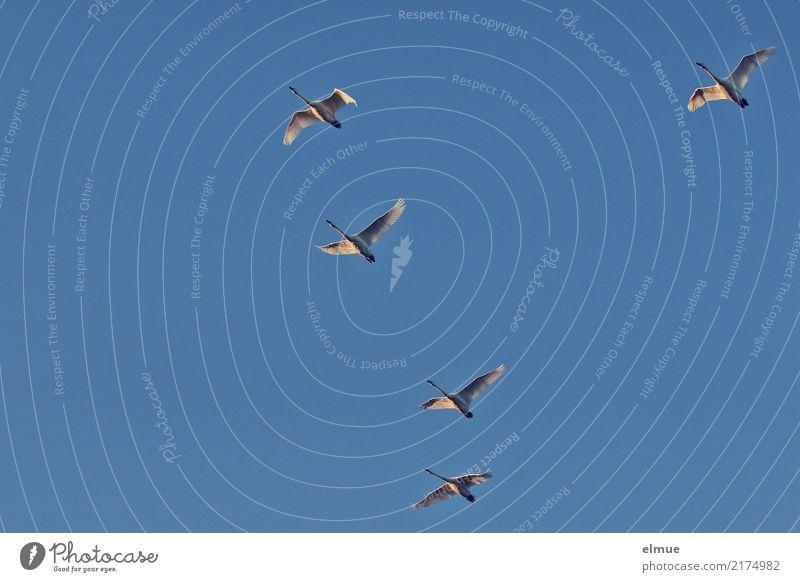 5,00 Singschwäne Natur Wolkenloser Himmel Herbst Schönes Wetter Insel Island Wildtier Schwan Singschwan fliegen ästhetisch elegant Zusammensein Unendlichkeit