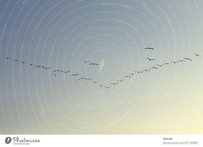 Vogel- V (2) Wolkenloser Himmel Herbst Wildtier Schwan Singschwan Schwarm fliegen Kommunizieren frei Zusammensein Kraft Romantik Sehnsucht Fernweh ästhetisch