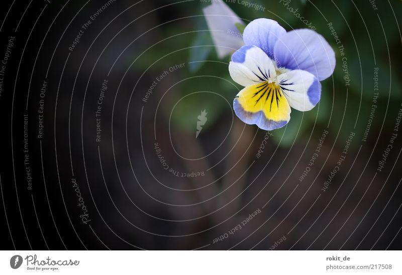 Wer findet sie... Natur weiß Blume blau Pflanze gelb Blüte klein frisch Blühend einzeln Vignettierung Vergißmeinnicht
