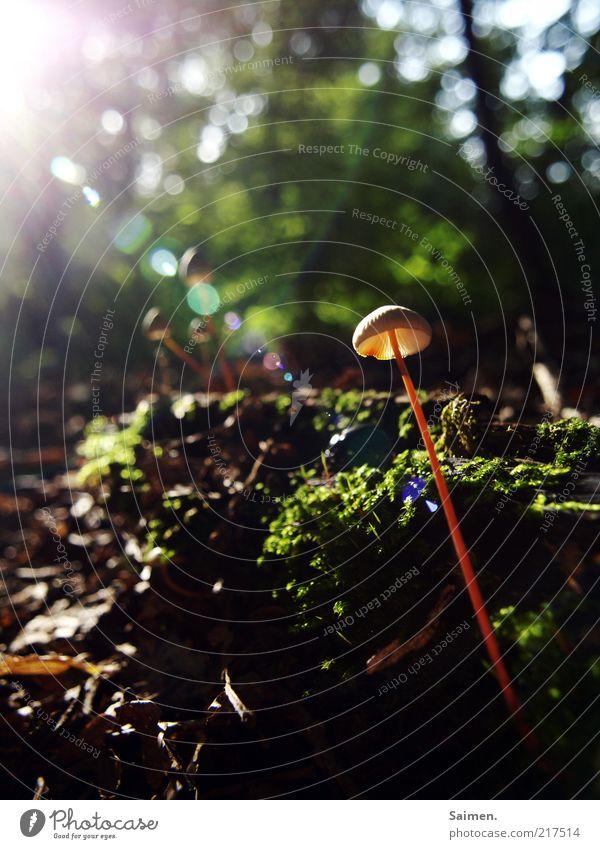 Sonnenanbeter Umwelt Natur Landschaft Pflanze Erde Sonnenaufgang Sonnenuntergang Sonnenlicht Herbst Schönes Wetter Moos Pilz Pilzhut Wald genießen schön elegant