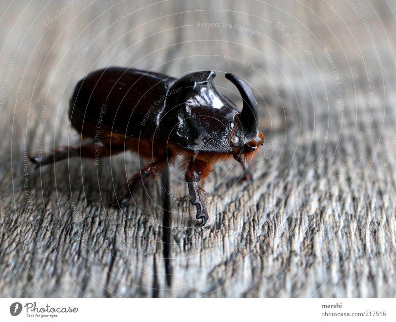 der Käfer mit dem gewissen Etwas Natur Tier 1 braun Holzuntergrund Holzstruktur Horn Ekel Käferbein Nashornkäfer Farbfoto Außenaufnahme Strukturen & Formen