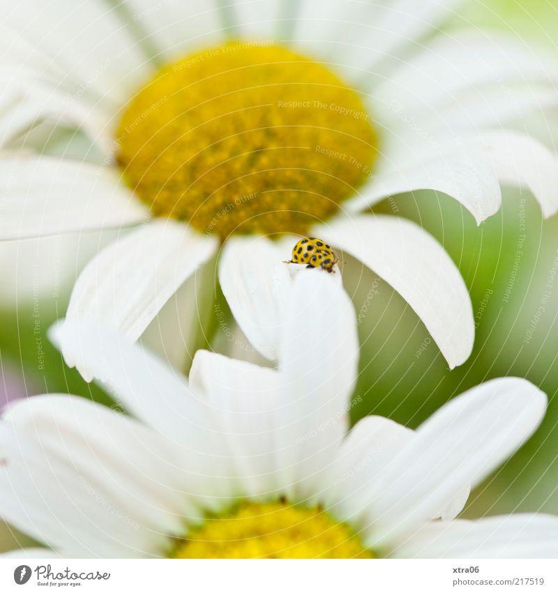 erinnerung an den sommer Natur weiß Blume Pflanze Tier gelb Wiese Blüte Umwelt sitzen Gänseblümchen Marienkäfer Margerite Blütenblatt gepunktet Detailaufnahme
