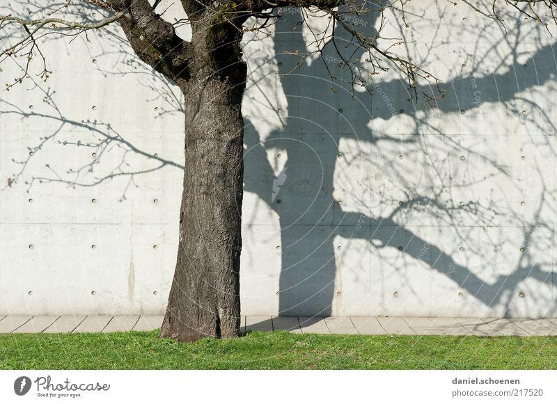 Herbstbaum weiß Baum Sonne Wand grau Mauer Beton Rasen Baumstamm Schönes Wetter Zweige u. Äste Betonwand