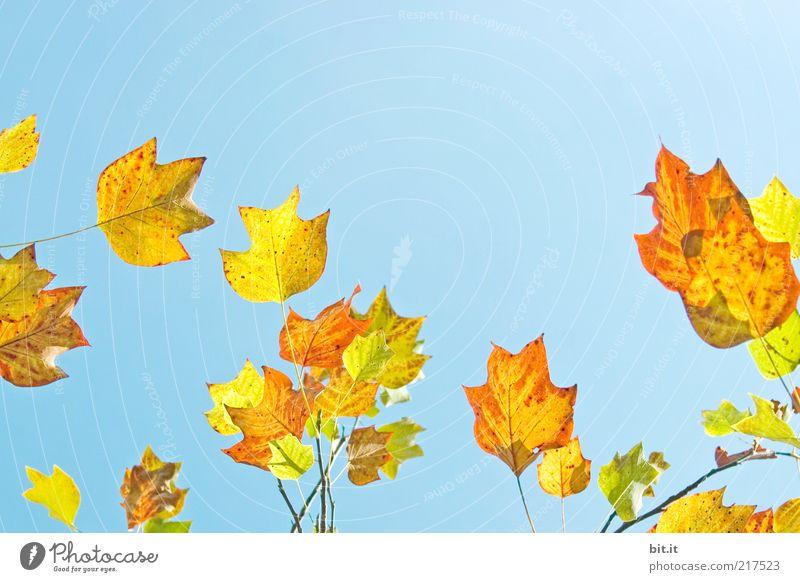 Frisch in den Herbst...(VIII) Natur Pflanze Luft Wolkenloser Himmel Wetter Blatt trocken blau gelb gold Farbe Vergänglichkeit Wachstum Herbstlaub herbstlich