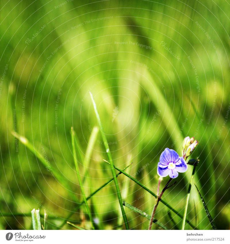 so klein, so besonders Natur schön Blume grün Pflanze Sommer ruhig Wiese Blüte Gras Frühling Landschaft Umwelt Hoffnung Wachstum violett