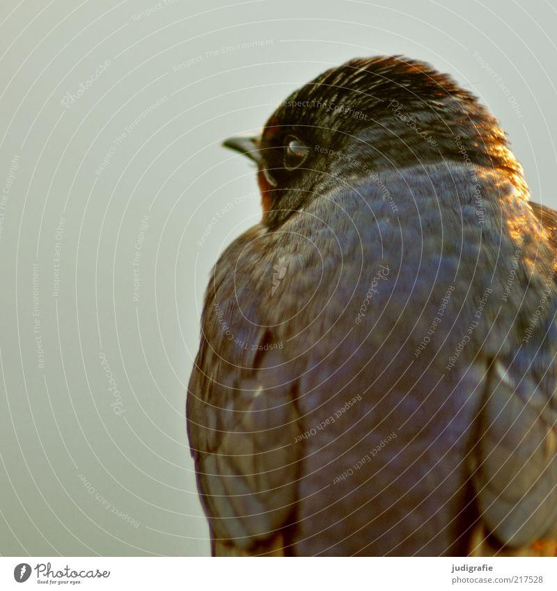 Schwalbe Natur Auge Tier Vogel warten Umwelt sitzen Feder natürlich Wildtier niedlich Schnabel Schwalben Rauchschwalbe