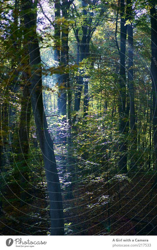 the very last resort Natur Baum grün blau Pflanze Blatt Wald Herbst Landschaft Umwelt natürlich leuchten Baumstamm Lichtspiel Zweige u. Äste Sonnenlicht