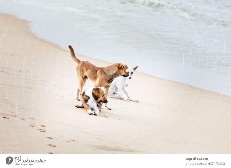 Spielen von Hunden am Strand, Sri Lanka, Asien Natur Ferien & Urlaub & Reisen Sommer Meer natürlich Tourismus Freiheit Sand Idylle Sehenswürdigkeit Postkarte