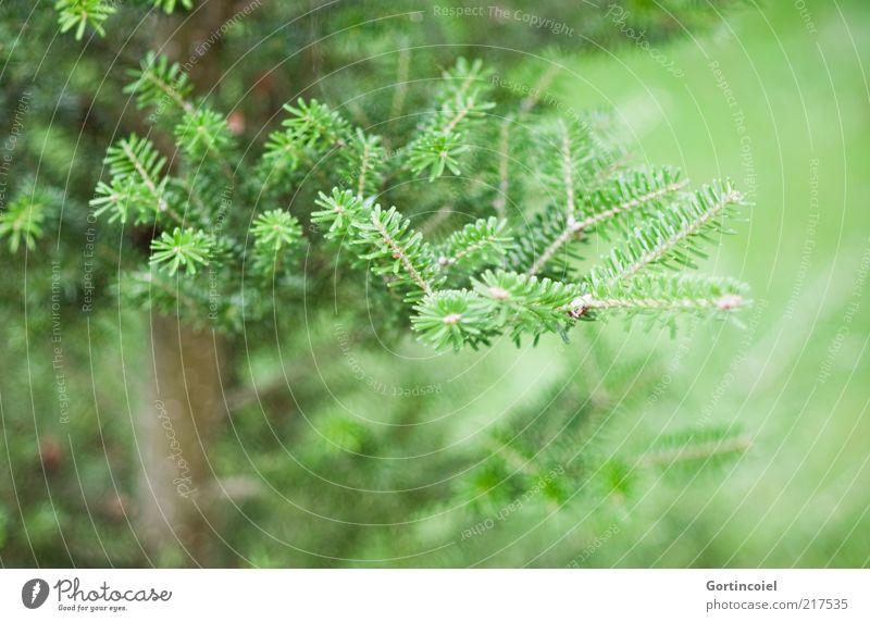 Immer grün Umwelt Natur Winter Pflanze Baum Tanne Tannenzweig Tannennadel Nadelbaum Farbfoto Gedeckte Farben Außenaufnahme Strukturen & Formen