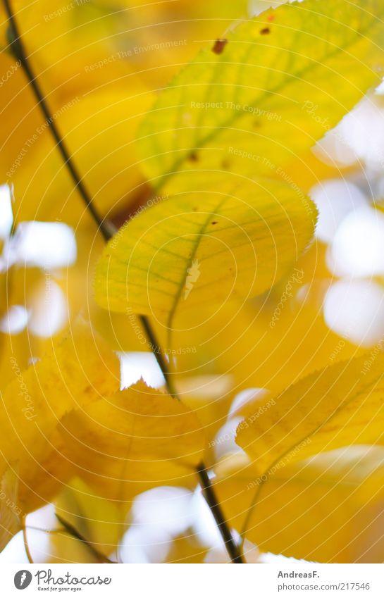 Herbstgelb Umwelt Natur Pflanze Blatt Herbstlaub herbstlich Herbstfärbung Herbstwald Zweig Farbfoto Nahaufnahme Detailaufnahme Schwache Tiefenschärfe