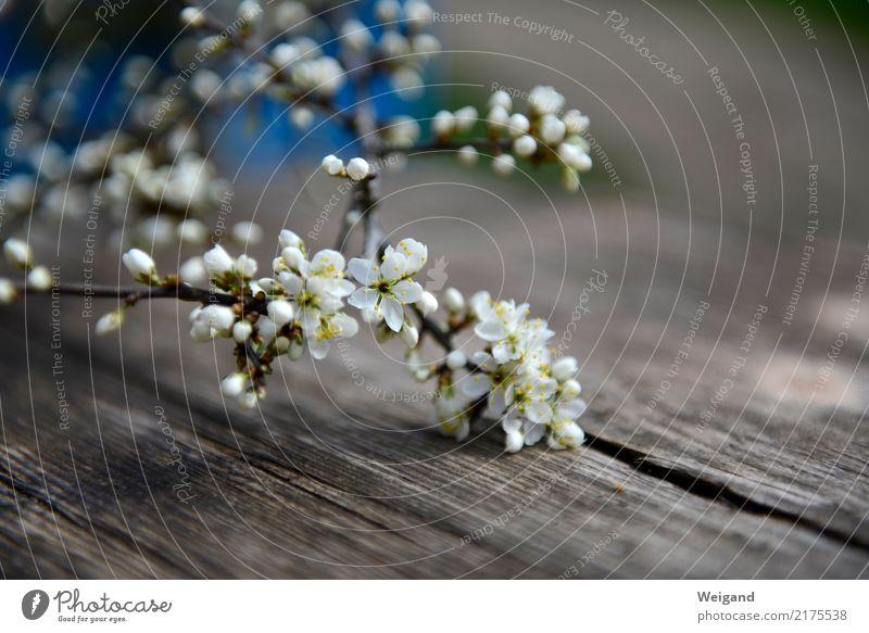 Frühlingsbote harmonisch Wohlgefühl Zufriedenheit Sinnesorgane hell Mitgefühl friedlich Güte Blüte Geschenk ruhig Meditation Duft Blume Holz Muttertag einfach