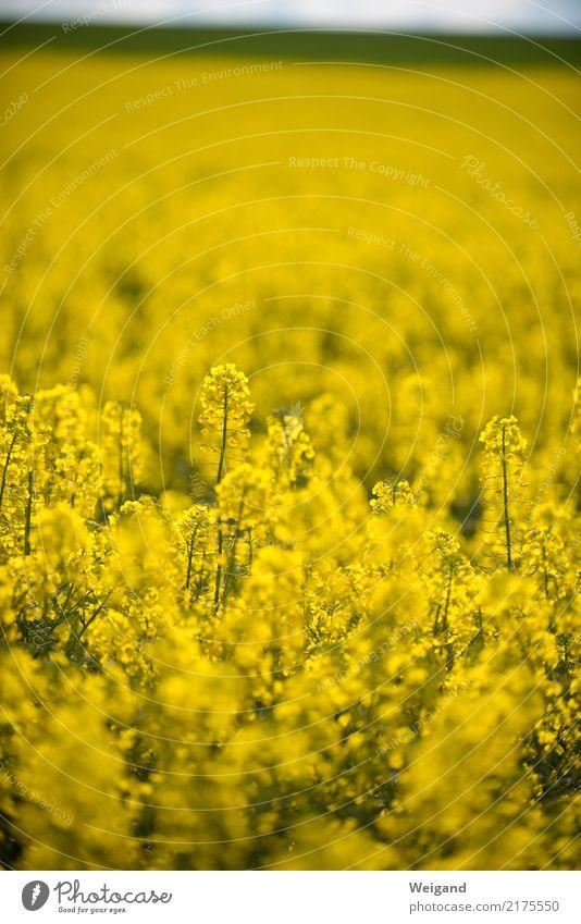 megagelb Feld Unendlichkeit nachhaltig Natur Raps Wachstum Landwirtschaft Frühling Blühend Blüte Ackerbau Duft Honig Landschaft Sonne Bioprodukte Menschenleer