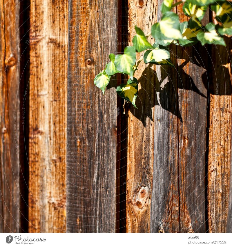 sonniger herbst Natur grün Pflanze Blatt Holz braun Zaun Holzbrett Schönes Wetter Ranke Maserung Efeu Grünpflanze Kletterpflanzen Holzzaun