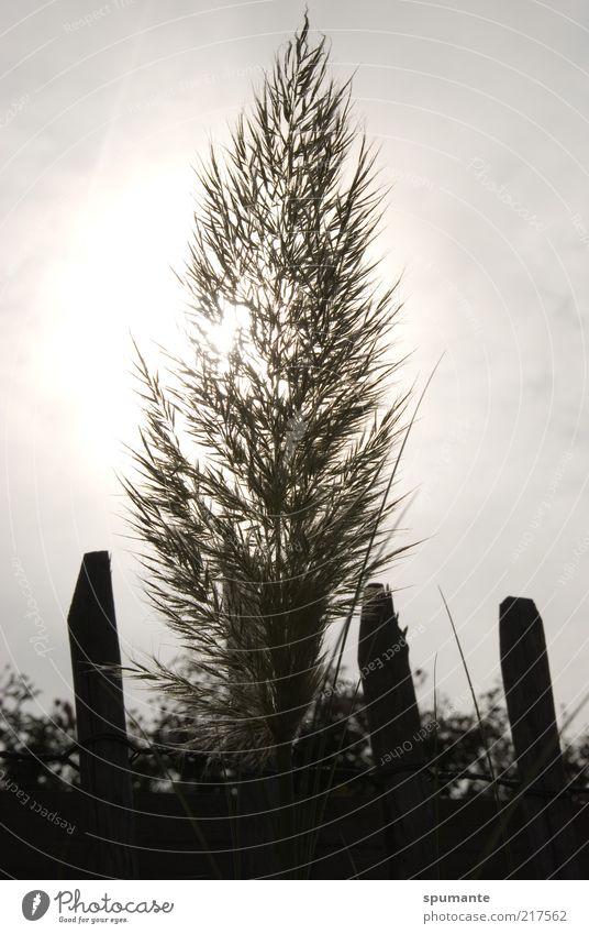 Pampasgras im Gegenlicht Natur Pflanze Himmel Sonnenlicht Gras Grünpflanze Garten Gartenzaun grau schwarz weiß Farbfoto Gedeckte Farben Außenaufnahme