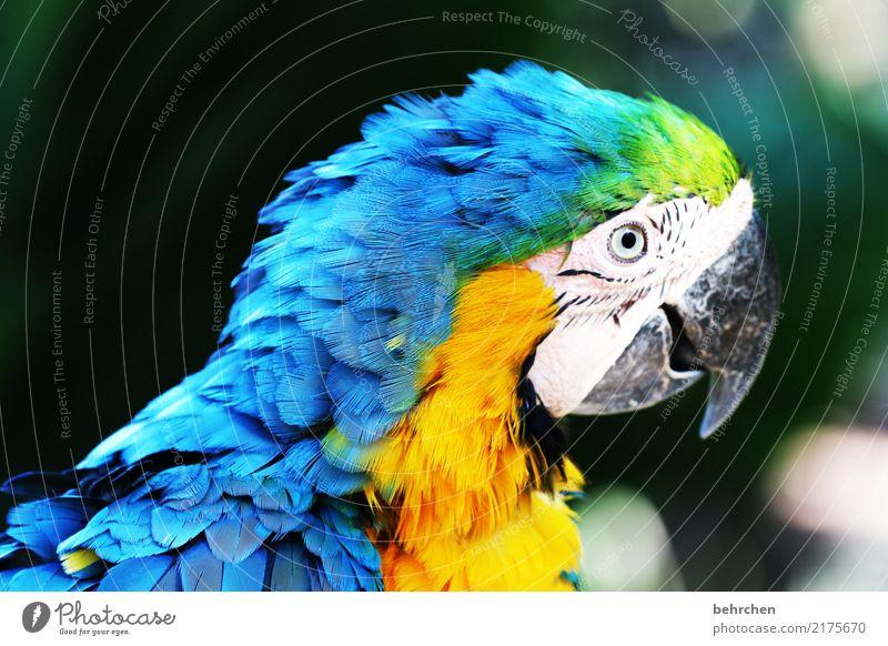 du hast ja nen vogel! blau schön Tier gelb Auge außergewöhnlich Vogel fantastisch beobachten Metallfeder exotisch Tiergesicht Zoo Schnabel Papageienvogel Ara