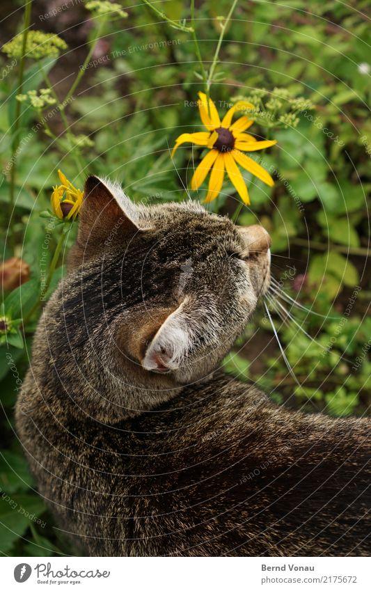 Katzenglück Glück Freiheit Natur Tier Blume Gras Wiese Fell Haustier oben braun gelb grün Hauskatze Tigerfellmuster Kopf Ohr Geruch Zurückblicken niedlich