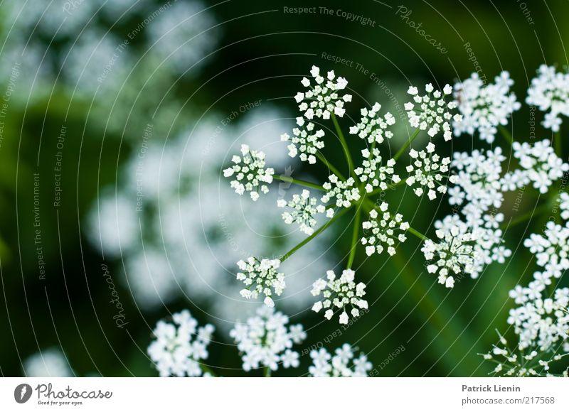 These photographs Umwelt Natur Pflanze Sommer Wetter Blume Blüte Grünpflanze Wildpflanze Wiese genießen Doldenblüte Doldenblütler weiß schön grün Tiefenschärfe