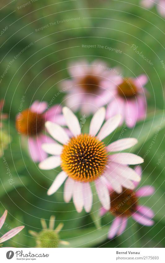 Blume Natur Garten hell schön Blüte Kugel zart rosa orange strahlenförmig grün Schmuck Wachstum Sommer Farbfoto Außenaufnahme Menschenleer Textfreiraum oben Tag