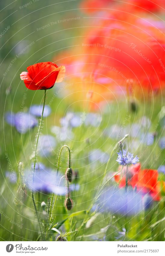 #A# Mohnfeld II Umwelt Natur Pflanze Blume Gras ästhetisch Mohnblüte rot Blühend Blühende Landschaften Wiese Wiesenblume Farbfoto mehrfarbig Außenaufnahme