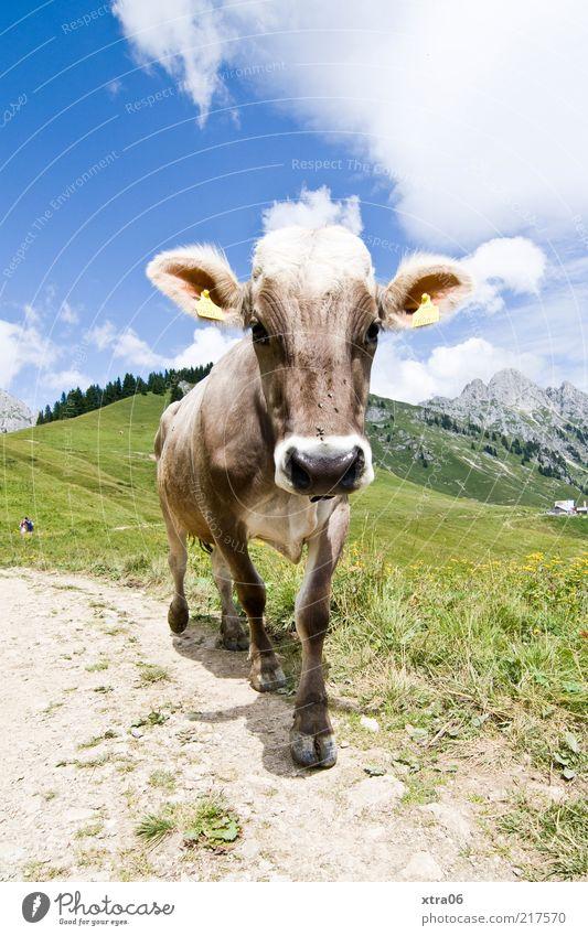 auf der alm Umwelt Natur Landschaft Pflanze Tier Himmel Wolken Frühling Sommer Wiese Feld Hügel Alpen Berge u. Gebirge Nutztier Kuh 1 Tierjunges authentisch
