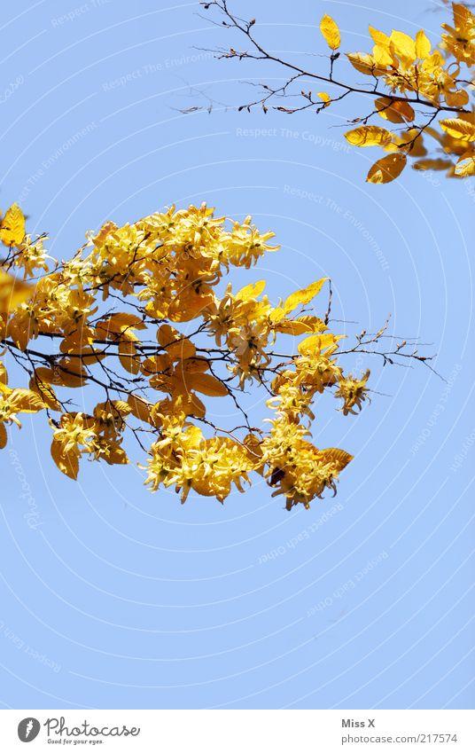 Ein Herbstbild Natur Baum Blatt gelb gold fallen Ast Schönes Wetter Blauer Himmel Herbstlaub Zweige u. Äste Buche herbstlich dehydrieren Wolkenloser Himmel