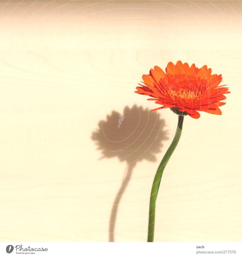 zart Pflanze Blume Blüte Gerbera Blühend Duft schön Wachstum Blütenblatt orange Farbfoto Innenaufnahme Menschenleer Textfreiraum links Textfreiraum oben Tag