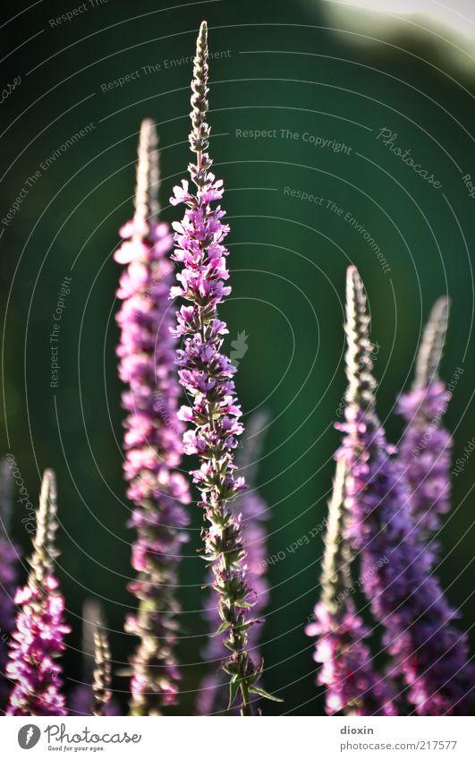 Blumen für zabalotta Sommer Pflanze Blüte Wildpflanze Stauden Blühend Duft Freundlichkeit positiv violett rosa schön Natur Farbfoto Außenaufnahme Unschärfe