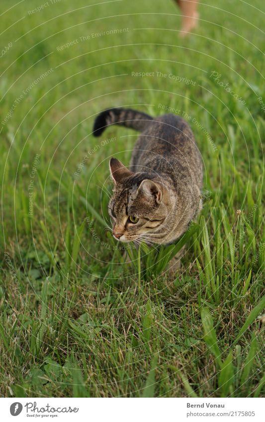 wiesn Natur Wiese Tier Katze 1 Blick braun Fell Tigerkatze niedlich fangen Suche Schnurrhaar Herumtreiben Mausefalle Haustier Tierjunges Schwanz grün Farbfoto