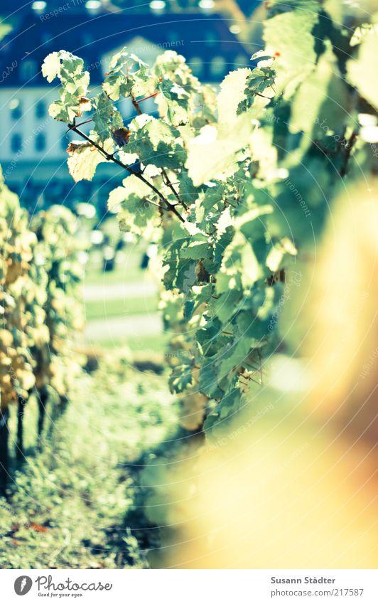 Schloß Wackerbarth Haus Garten Wein Burg oder Schloss Ernte Wahrzeichen Berghang Sachsen Weinberg Weinlese Nahaufnahme Landwirtschaft herrschaftlich Traumhaus Weinbau Weinblatt