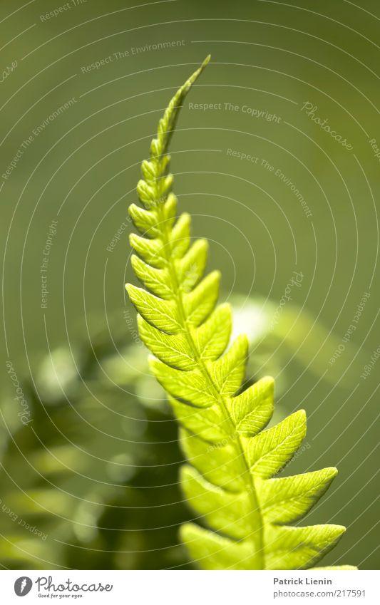 grünes Leuchten Umwelt Natur Pflanze Sommer Blatt Grünpflanze Wildpflanze beobachten authentisch elegant schön Stimmung Farn leuchten Zacken Linie