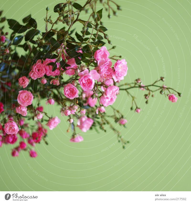 cHübsche Röschen Pflanze Blume Rose Blatt Blüte Rosenstrauch Rosenblätter Blumenstrauß Duft Wachstum schön Kitsch grün rosa Gefühle Sympathie Farbe