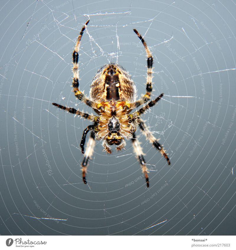 pfui... Tier Spinne 1 Netz bauen beobachten fangen festhalten hängen Jagd krabbeln warten bedrohlich Ekel listig natürlich braun grau Wachsamkeit ruhig Ausdauer