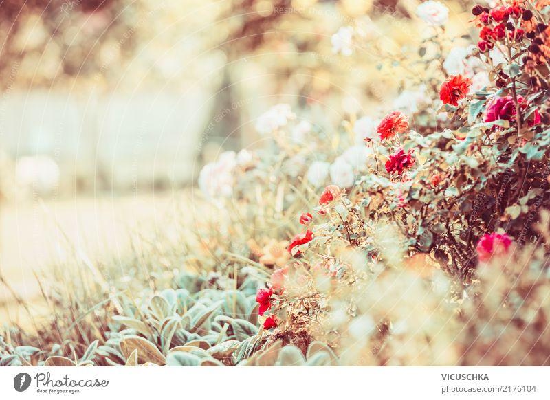 Herbst Blumen Garten Lifestyle Design Sommer Natur Pflanze Sonnenlicht Schönes Wetter Gras Rose Blatt Blüte Park rosa Hintergrundbild Roter Sonnenhut Farbe