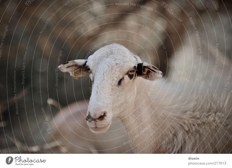 Man muss nur wollen wollen! Tier Haustier Nutztier Tiergesicht Fell Schaf 1 Blick stehen Entschlossenheit Schafswolle Auge Ohr Schnauze Maul Farbfoto