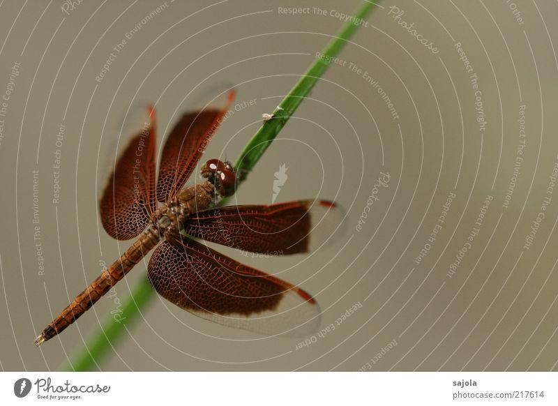 zarte schönheit Tier braun warten elegant sitzen ästhetisch Schutz Insekt Stengel Wildtier Halm Libelle Makroaufnahme Facettenauge