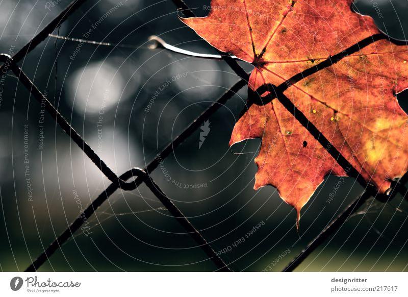 Ruhestand Herbst Pflanze Blatt Ahorn Herbstlaub Ahornblatt Garten Zaun Maschendrahtzaun alt festhalten hängen schön gelb gold rot Hoffnung Farbfoto