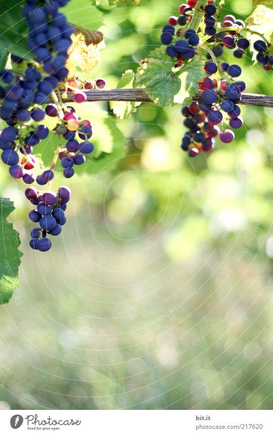 von der Sonne verwöhnt Natur blau Sommer Blatt Ernährung Feld Gesundheit Lebensmittel Frucht Wachstum Wein Landwirtschaft reif Wirtschaft Schönes Wetter ökologisch