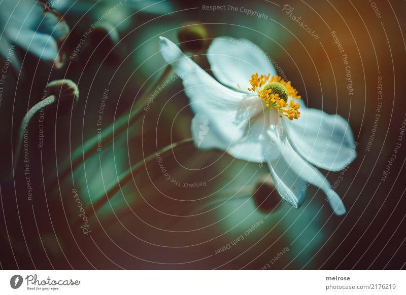 Cosmea sun kissed elegant Stil Geburtstag Natur Pflanze Sonnenlicht Sommer Schönes Wetter Blume Sträucher Blatt Blüte Wildpflanze Pflanzenteile Schmuckkörbchen