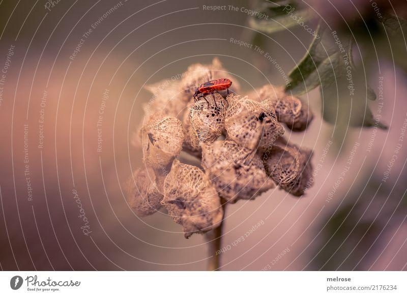 kribbel krabbel Umwelt Natur Sommer Schönes Wetter Pflanze Sträucher Blüte Wildpflanze Feld Tier Feuerwanze Gliederfüßer Wanze Insekt Halbflügler Farbenspiel