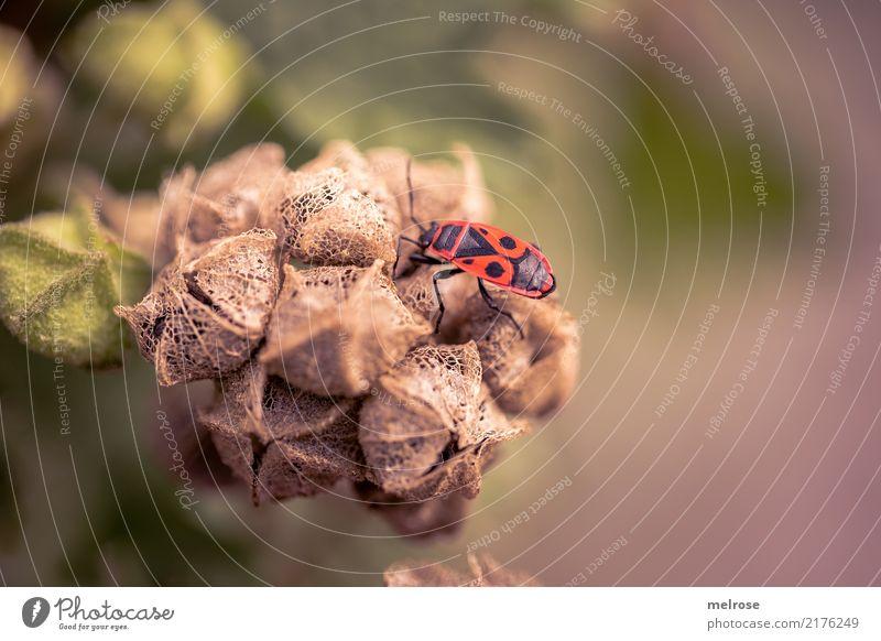 Feuerwanzen-Alarm Natur Sommer Schönes Wetter Pflanze Sträucher Blatt Blüte Wildpflanze Feld Tier Wildtier Gliederfüßer Insekt Halbflügler Wanze Pause