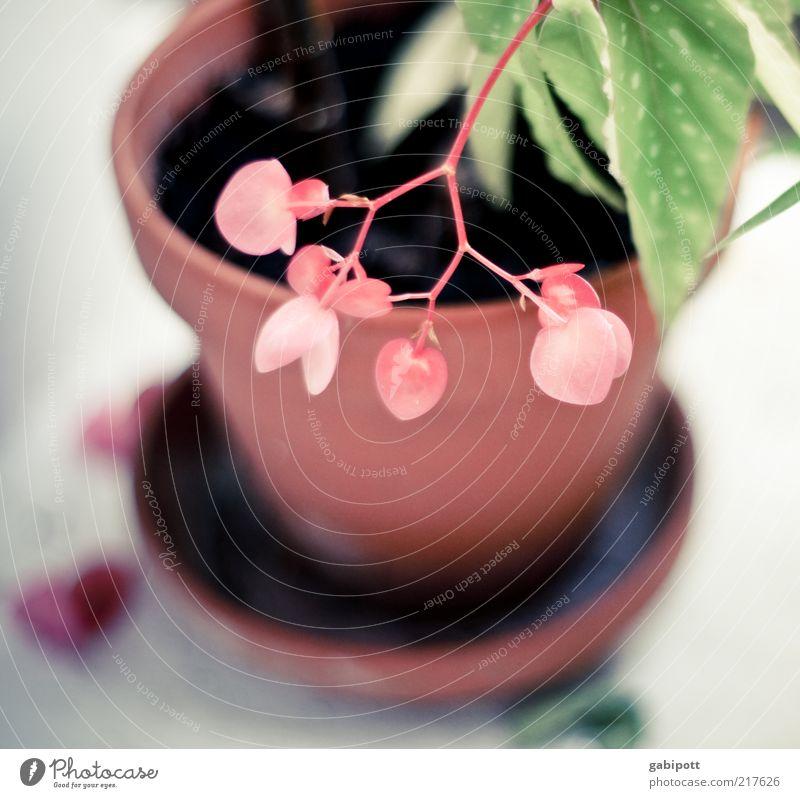 herzchenblume Natur schön Blume grün Pflanze Blatt Zufriedenheit Herz rosa Design Romantik einzigartig Lebensfreude Duft positiv exotisch