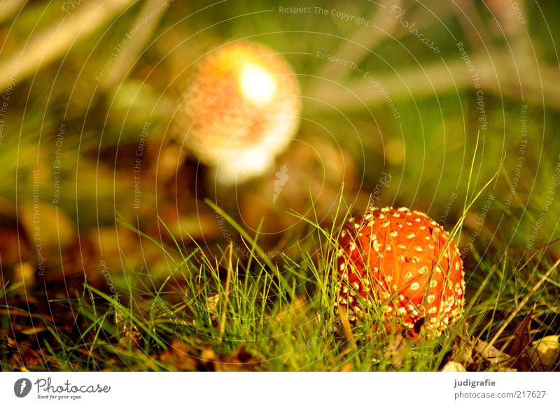 Herbst Natur Pflanze Wiese Gras Landschaft Umwelt Wachstum Klima einzigartig wild natürlich Pilz Gift gepunktet Waldboden