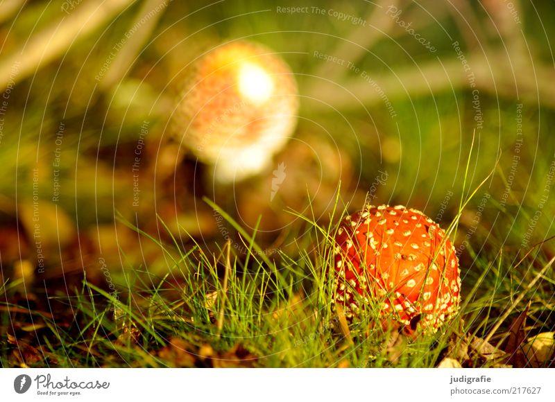 Herbst Natur Pflanze Wiese Herbst Gras Landschaft Umwelt Wachstum Klima einzigartig wild natürlich Pilz Gift gepunktet Waldboden