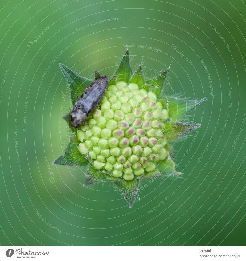 verschlossen Umwelt Natur Pflanze Tier Blume Blüte 1 grün Käfer Farbfoto Außenaufnahme Nahaufnahme Detailaufnahme Makroaufnahme Textfreiraum oben