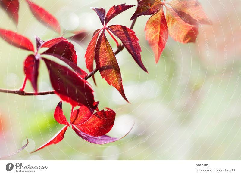 Roter Wein Natur schön Pflanze Blatt Herbst hell Umwelt Sträucher Wandel & Veränderung Vergänglichkeit fantastisch natürlich Herbstlaub Zweige u. Äste