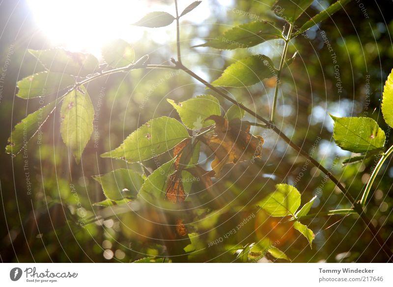 Lichtblick Natur Pflanze Sonne Sonnenlicht Herbst Schönes Wetter Baum Sträucher Blatt leuchten Wärme Umwelt Vergänglichkeit Wandel & Veränderung Jahreszeiten