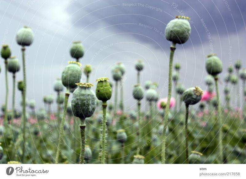 mohn Lebensmittel Mohn Mohnblüte Mohnfeld Mohnkapsel Ernährung Bioprodukte schön Gesundheit Umwelt Natur Landschaft Pflanze Sommer Herbst Wetter