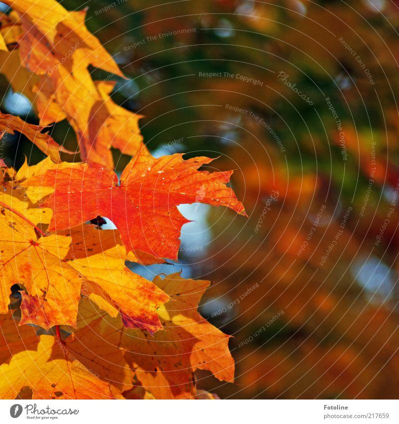 herbstlich Umwelt Natur Pflanze Urelemente Luft Herbst Baum Blatt Wildpflanze Wald hell natürlich mehrfarbig gelb gold orange grün Ahorn Ahornblatt Ahornzweig