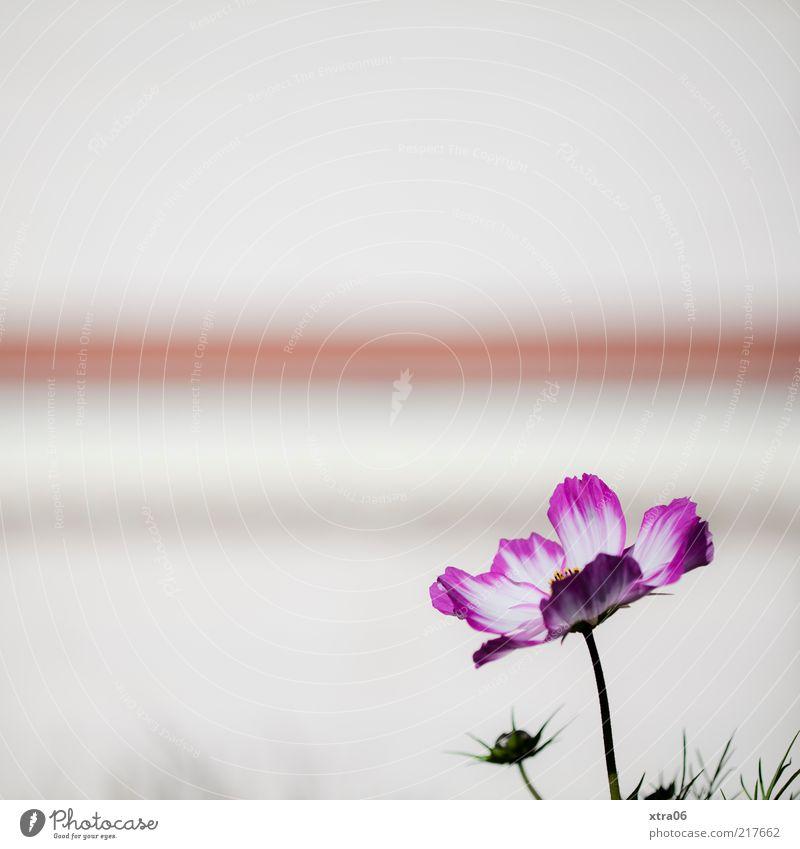 blümchen & streifen Pflanze Blume Blüte weiß Farbfoto Außenaufnahme Nahaufnahme Textfreiraum oben Textfreiraum links Menschenleer Streifen rosa Blütenblatt