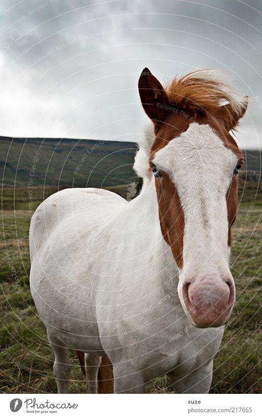 Naseweis Umwelt Natur Tier Himmel Horizont Wetter Wiese Nutztier Pferd Tiergesicht 1 authentisch lustig natürlich niedlich schön weiß Island Ponys Mähne Schecke